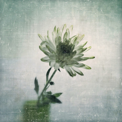 chrysanthemum - iphoneography